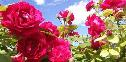 уход за садовыми розами осенью