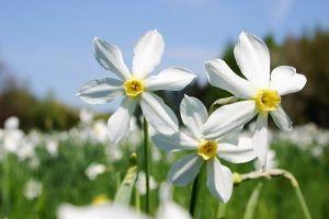 Как посадить нарциссы, чтобы пышно и красиво цвели