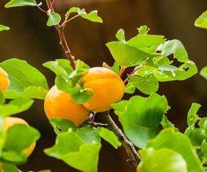 Выбор здорового саженца абрикоса и правильная посадка