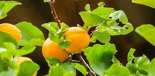 посадка абрикосов