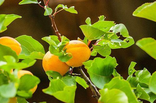 Как сажать абрикос