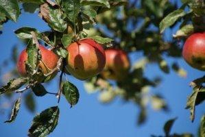Хлороз яблони - причины и методы борьбы