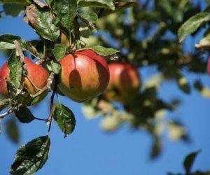 Хлороз яблони – причины и методы борьбы