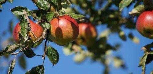 хлороз яблони лечение