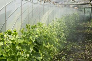Подкормка огурцов в теплице, причины деформации плодов