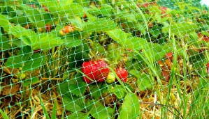 Защита плодов клубники от птиц