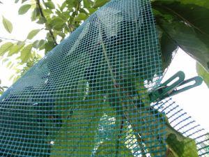 Как защитить урожай вишни и черешни от птиц