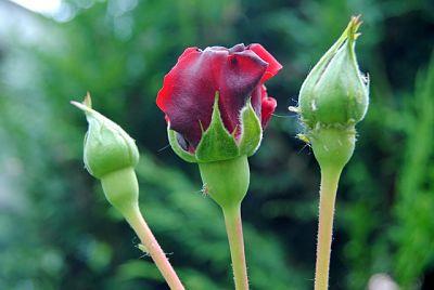 Как правильно обработать розы от тли