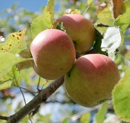 дефицит магния у яблони
