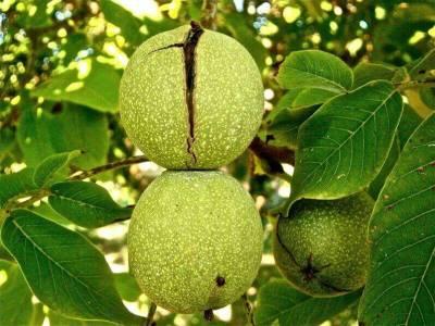 Как посадить и вырастить грецкий орех