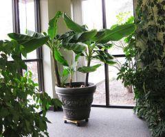Как вырастить карликовый банан в квартире
