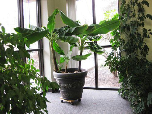Как посадить банан в квартире