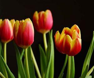 Зимняя выгонка тюльпанов и гиацинтов в воде