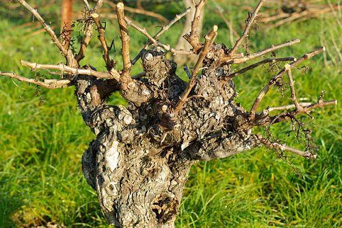 Заготовка черенков винограда на укоренение