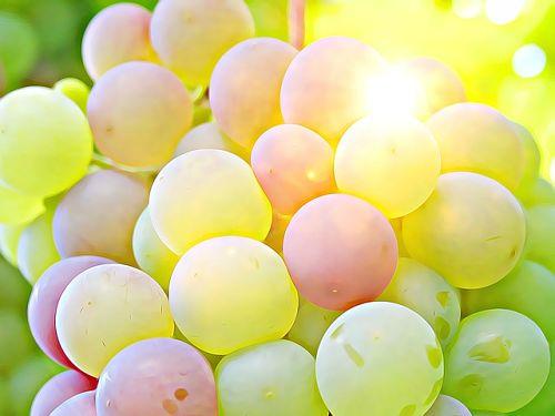 Сорта винограда устойчивые к болезням вкусные и простые в уходе