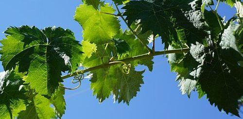 подкормка винограда органикой