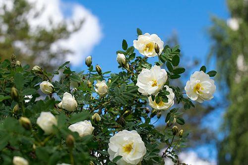 Садовая роза не цветет - причины