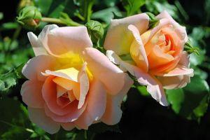 Подкормка садовых роз до и после цветения