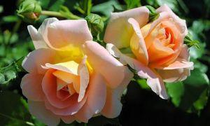 Подкормка садовой розы весной и после цветения
