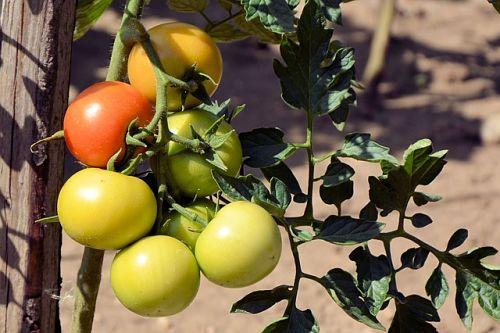 8 способов ускорить созревание томатов