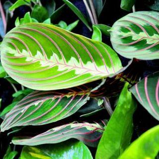 Калатея: как создать идеальные условия для роста