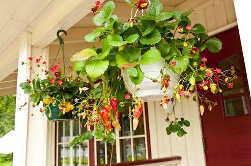 Как вырастить клубнику на балконе