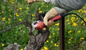 Как обрезать виноград - схема для начинающих