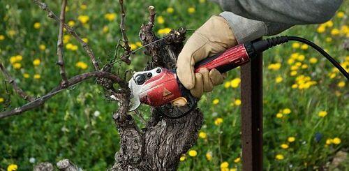 Обрезка винограда - подробное руководство