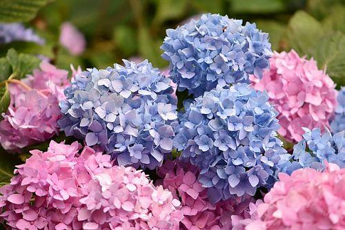 гортензия голубая и розовая