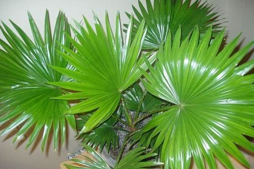 Пальма Ливистона – особенности ухода