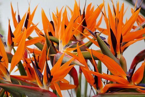 комнатное растение стерлиция