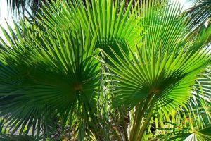 Пальма Вашингтония - уход и размножение