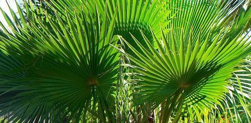 пальма Вашингтония уход