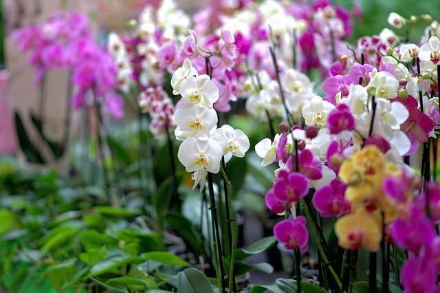 покупка орхидеи