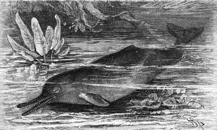 800px-Schnabeldelphin-drawing