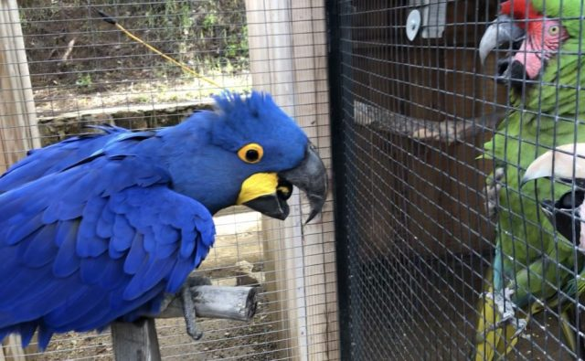 Image result for blue and gold macaw behavior
