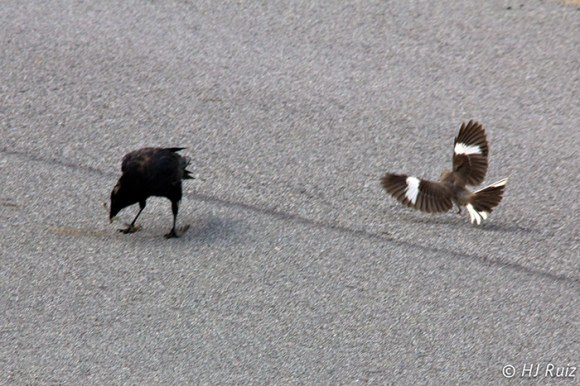 Mockingbird jumps on the crow and then chased him out