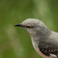 Northern Mockingbird (M) or (F)