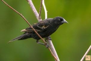 Red-winged-Blackbird (M) Juvenile