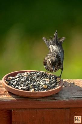 Red-winged Blackbird (F) (J)
