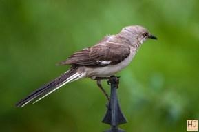 Northern Mochingbird