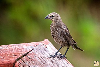 Brown-headed Cowbird (F)