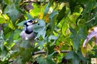 Blue Jay (Surprise visit)