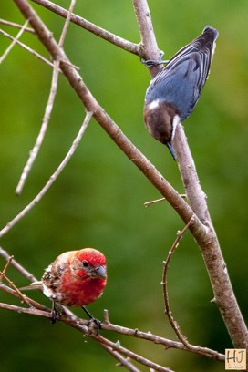 House Finch, Brown-headed Nuthatch