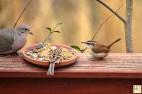 Mourning Dove, Field Sparrow, Carolina Wren
