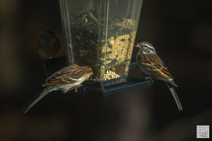 Field Sparrows, Chipping Sparrow