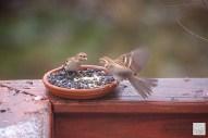 Field Sparrows