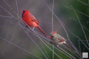 Northern Cardinals (M&F)