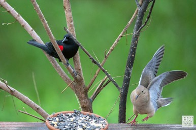 Red-winged Blackbird --- Mourning Dove