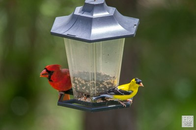 Northern Cardinal (M) and American Goldfinch (M)